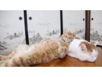 貓叔變成虎斑貓私人枕頭 還有自動保溫功能