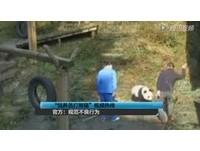 太黏人? 四川小貓熊被飼養員掌摑