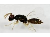 「桉樹枝癭釉小蜂」肆虐全球!林試所成功育出抗蟲品系