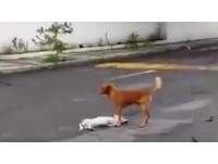 小白狗挨撞死在馬路中央 夥伴「不離不棄」守護遺體