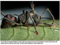 昆蟲界的殭屍道長!「殭屍蟻」用殭屍控制殭屍