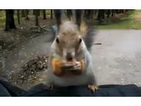 松鼠爬「人體樹幹」 坐在手臂上大啖堅果