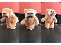 變名模走超專業台步 「狗熊麻吉」左看右看再定點姿勢