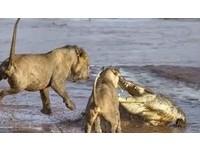 桑布魯河畔上演「猛獸對決」 獅群圍攻鱷魚保住午餐