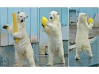 北極熊就愛「站著」趴趴走 遊客驚:裡面真的不是人?