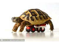 裝上「樂高輪椅」 軟腿病龜跑得快!