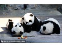全球唯一貓熊三胞胎與母團圓 熊媽照顧3隻奇蹟無誤
