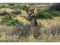 攝影師運氣真好 拍到肯亞獅子跳華爾滋!