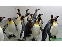 剛到新家的國王企鵝。(圖/台北市立動物園)
