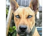 藍睛混種比特犬 台東部落「荷蘭妲」用眼神殺死你!