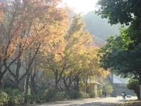 石門水庫3千楓林漸轉紅!月底可見好「楓」情