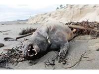 又見「卓柏卡布拉」?神秘無毛生物橫屍加州海灘