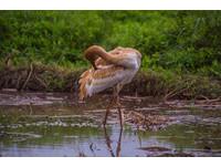 瀕臨絕種西伯利亞白鶴現身台灣!不怕生遊客爭相睹風采