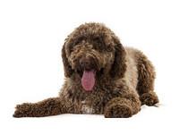 狗狗界新F4  「美國犬業俱樂部」認可4個新犬種