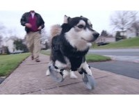 3D列印新腳 殘肢哈士奇犬逃過安樂死命運!