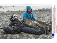 南極小海象把女遊客當枕頭 躺上身睡了幾小時