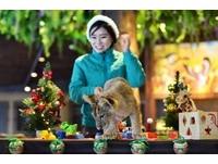 韓愛寶樂園秀3個月小獅 頭戴耶誕帽裝萌