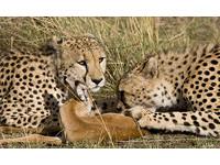 痾那隻豹伸出爪子了!小鹿跟獵豹的友情故事結局是...
