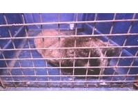 狂犬病鼬獾咬人再添一例 貓狗寵物未打疫苗罰3至15萬