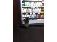 超市「偷奶賊」 澳洲無尾熊遭網友PO網