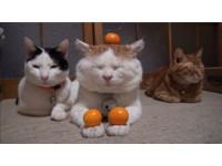 「貓叔」一家掌展神功 捧10多顆橘子淡定秒入睡