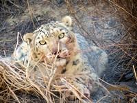 巡視領地被拍到 四川臥龍再度監測到野生雪豹