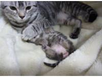 小貓做夢抽搐 貓媽媽用愛的抱抱、遮遮眼安撫