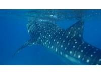 全球首創近距離與鯨鯊同游 享受屬於你的宿霧假期