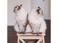 姐姐頑皮、妹妹貪吃!超萌貓貓雙胞胎融化你心