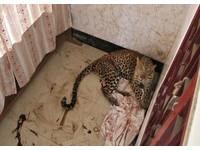 受傷花豹闖入印度民宅 林務員趕到打麻藥送醫