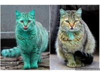保加利亞綠貓被逮去洗澡 現在花色好凌亂