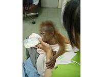 人猿寶寶妞莉出生滿月 24小時人工哺育《ETtoday 新聞雲》