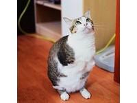 用僅剩兩腳走路 「企鵝貓」照樣幸福鑽紙袋