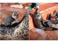 暖暖der~日動物園海豹成「睡墊」 企鵝趕流行排隊睡