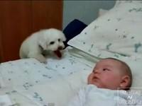 床太高了!小狗想跟嬰兒玩 腿太短徒勞無功