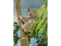 3隻無尾熊 今起在台北市立動物園「見客」