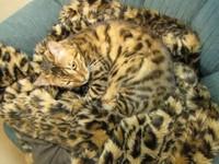 「隱形貓」超強偽裝術 和豹紋大衣融為一體