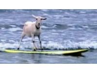 衝浪羊真淡定 還會花式跳躍