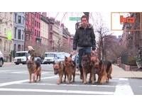 這位馴狗師超猛無極限 6隻「德國牧羊犬」宛如跟班