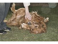 狗狗翻肚代表服從? 加研究:錯!這是具攻擊性的行為