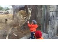 隔玻璃與笑呵呵小娃「玩抓抓」 獅子超想穿越過去
