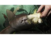 全球唯一「吃素的鯊魚」 最愛食物是芹菜棒
