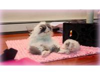 超萌貓母女 小貓愛把媽媽的尾巴當「逗貓棒」