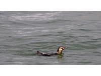 日本「越獄企鵝」找到了! 在東京灣吃得肥滋滋