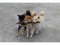 聽到關鍵字就瘋狂! 三柴犬咬棍齊步走如「儀隊操槍」