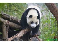 大貓熊「圓仔」榮獲「貓熊個性獎」金牌。(圖/台北市動物園)