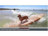 誰說腿短不能玩!「香腸狗」巴茲爾大秀衝浪神技