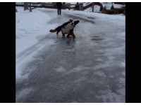 伯恩山犬在冰面上滑倒 慢動作重播四肢變QQ軟糖