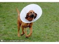 不當育種!狗皮膚太鬆「失明」 拉皮後終於看見了