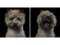 荷蘭攝影師的動物「大頭夢」。(圖/達志影像)